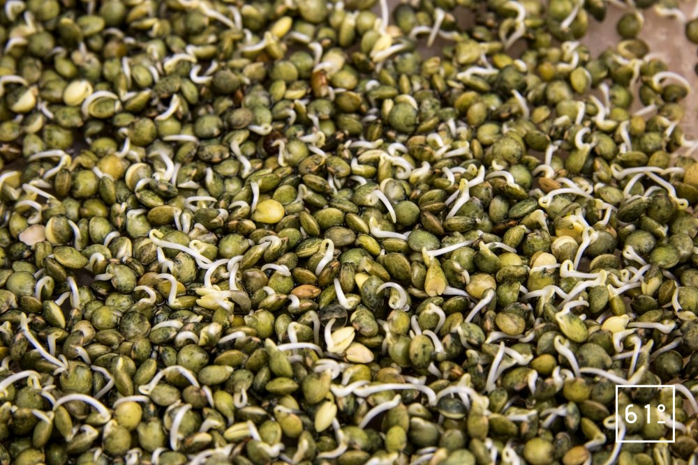 Germes de lentilles vertes - jour 2
