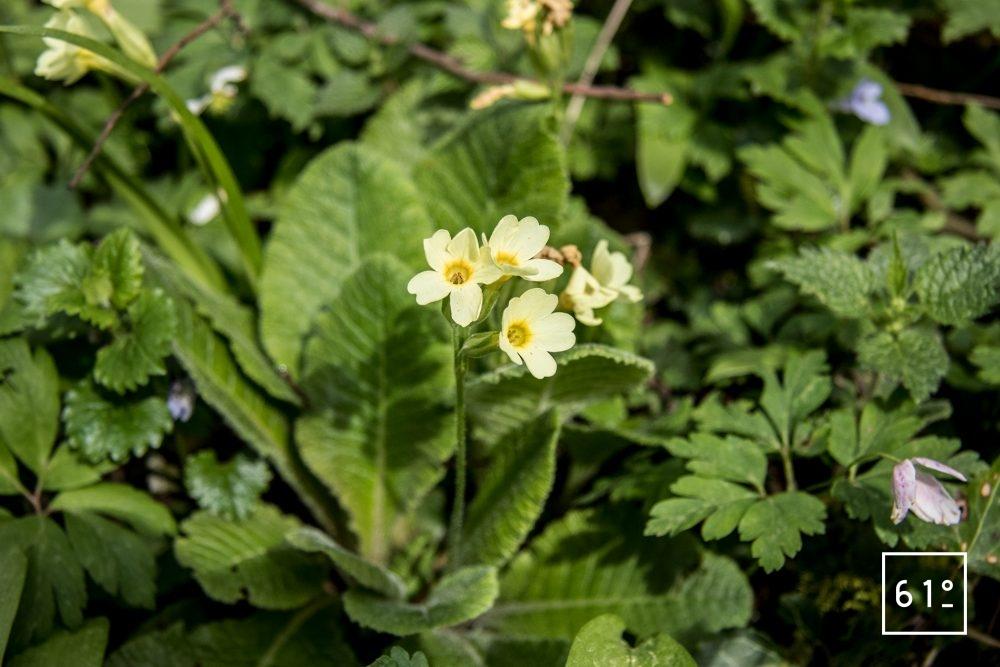 Fleurs comestibles - primevère officinale - coucou