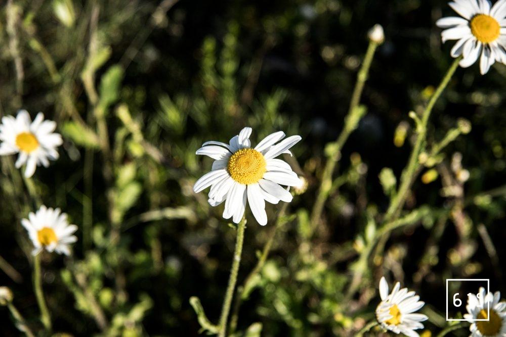 Fleurs comestibles - marguerite