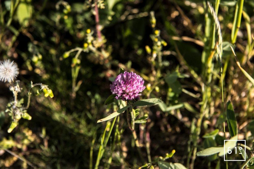 Fleurs comestibles - tréfle