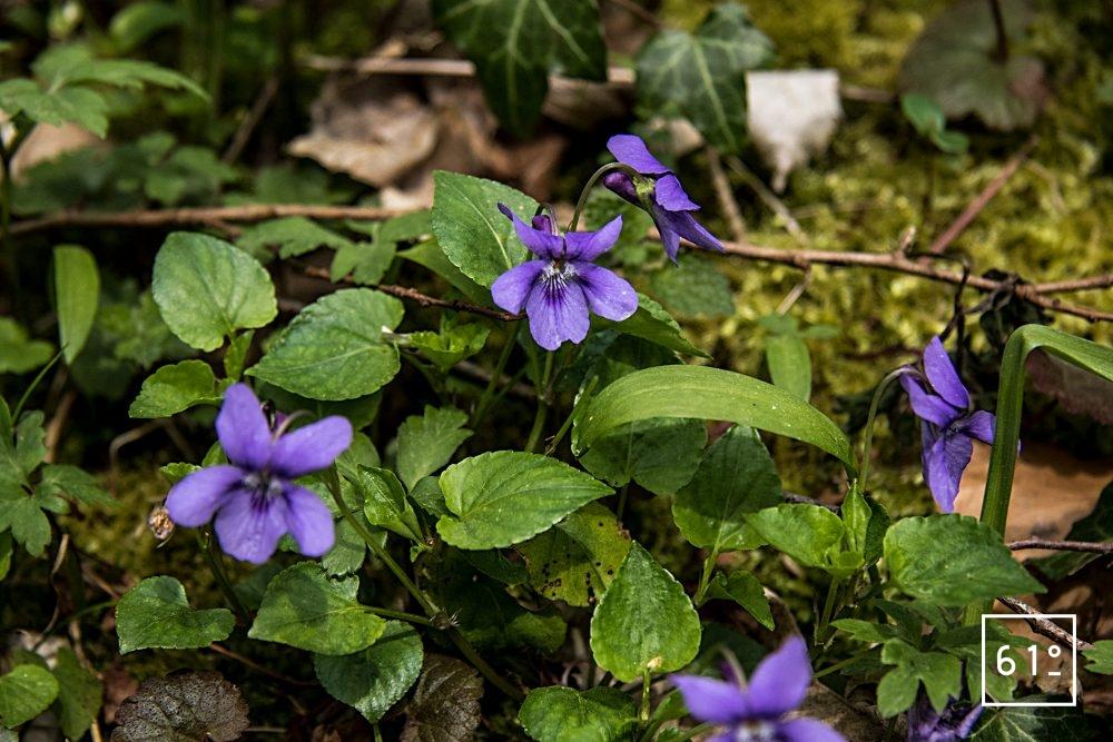 Fleurs comestibles - violette