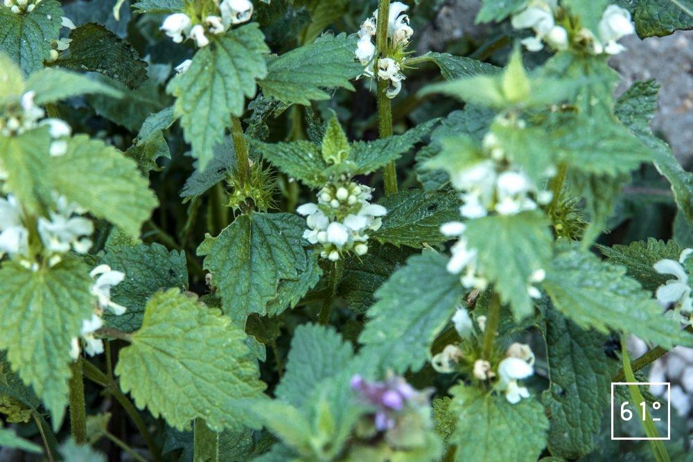 Fleurs comestibles - lamier blanc