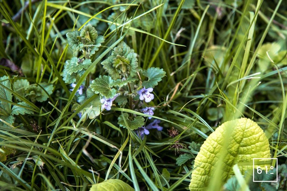 Fleurs comestibles - lierre de terre