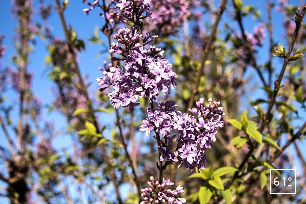 Fleurs comestibles - lilas