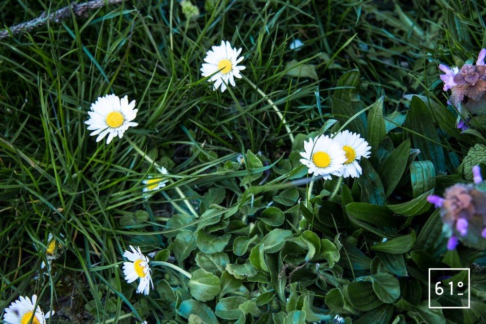Fleurs comestibles - pâquerettes