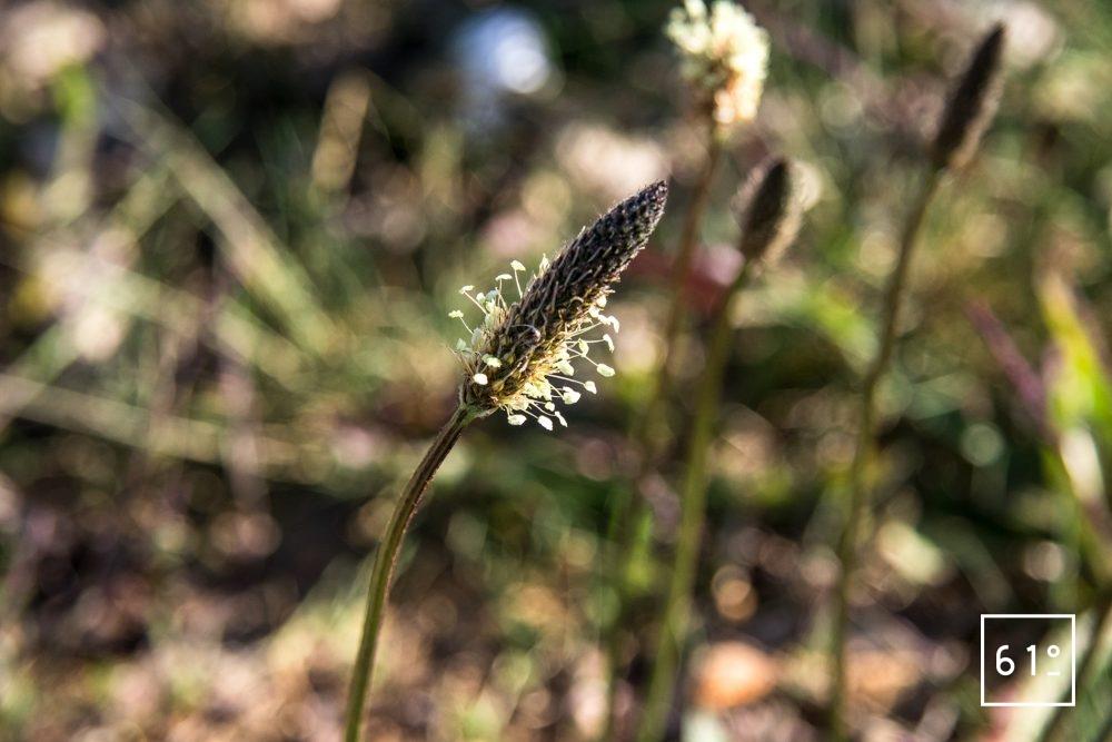 Fleurs comestibles - plantain