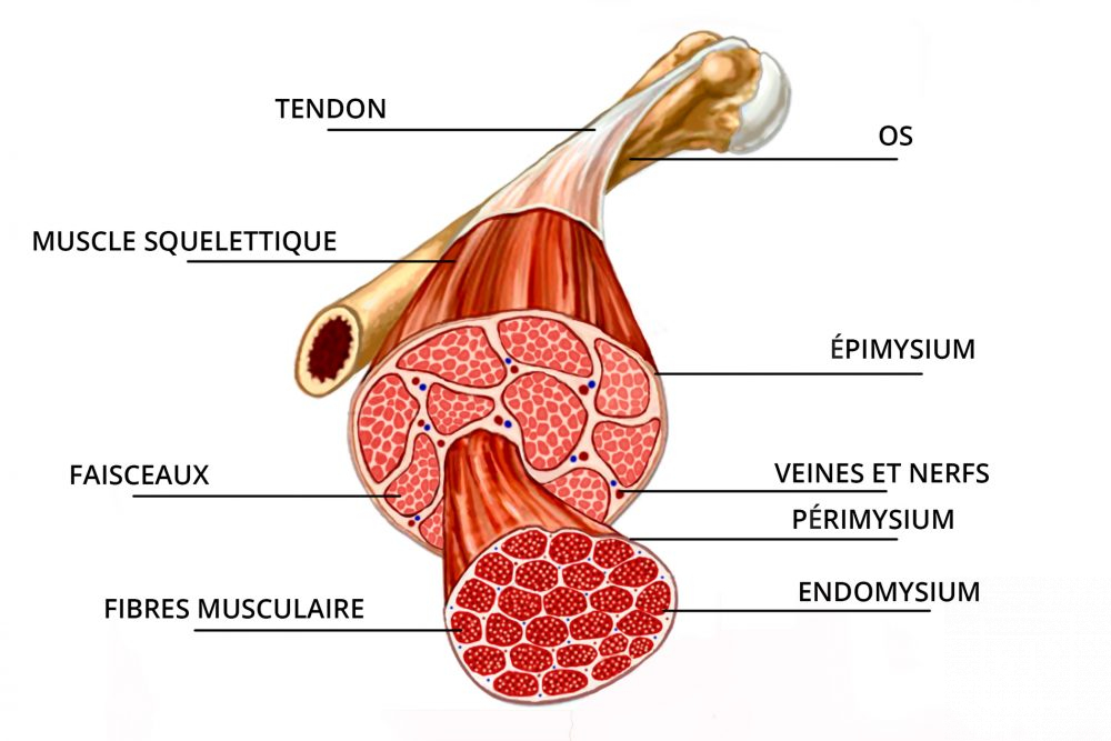 Composition du muscle schéma